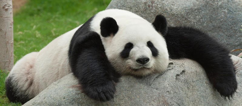 amazing panda facts