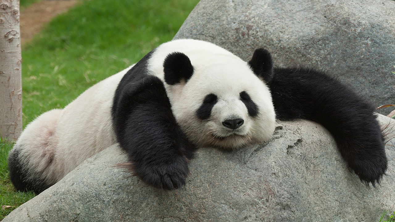 15 Incredible Panda Facts That Will Make You Want To Save Them ...